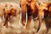 TRAFFIC - News in French - Le braconnage s'intensifie, les éléphants et autres espèces animales phares en Afrique Centrale sont en train dedisparaitre | Nature & Civilization | Scoop.it