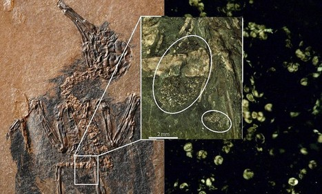 47-million-year-old fossil of hummingbird ancestor found - and it still has pollen in its stomach!   Geology   Scoop.it