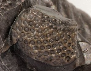 Trilobite Eyes—Ultimate Optics | Answers in Genesis | Practical...insightful education | Scoop.it