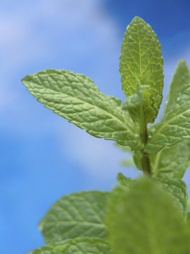 Reduce Pain and Inflammation with Peppermint Essential Oil | Aromatherapy Tips | Scoop.it