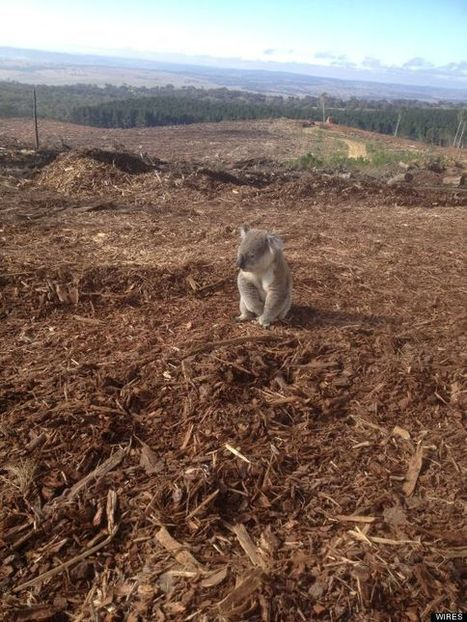 PHOTO: Devastated Koala Realizes His Home Is Gone | Earth Day Everyday Everywhere | Scoop.it