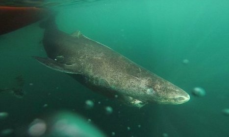 Greenland Shark is world's longest living vertebrate, living up to 400 | ScubaObsessed | Scoop.it