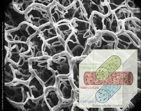 Harvard scientists 3D bioprint layered tissue with blood vessels   Medical Engineering = MEDINEERING   Scoop.it