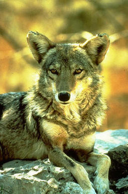 Coyote Trickster Tales Among Different Native Tribes | The Trickster Archetype | Scoop.it