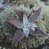Endangered plants of California