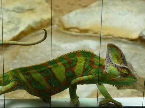 Photo de Saurien : Caméléon casqué du Yémen - Chamaeleo calyptratus - Veiled chameleon | Fauna Free Pics - Public Domain - Photos gratuites d'animaux | Scoop.it