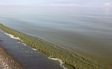Working to find solutions to algae blooms - Chatham Daily News | cyanobacteria | Scoop.it