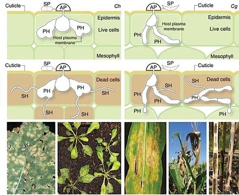 Nature Genetics: Lifestyle transitions in plant pathogenic Colletotrichum fungi deciphered by genome and transcriptome analyses (2012)   Plant Pathogenomics   Scoop.it