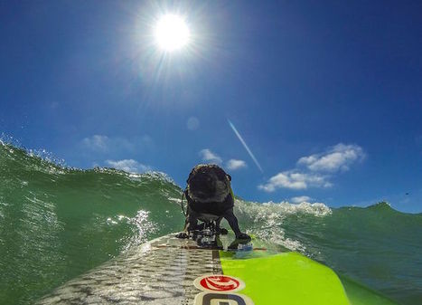 Brandy The Pug is an Award-Winning Surfer and Snowboarder | Le It e Amo ✪ | Scoop.it
