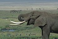 Poachers Jailed After Poisoning 81 Elephants And Other Animals To | Wildlife in the United States and Canada | Scoop.it