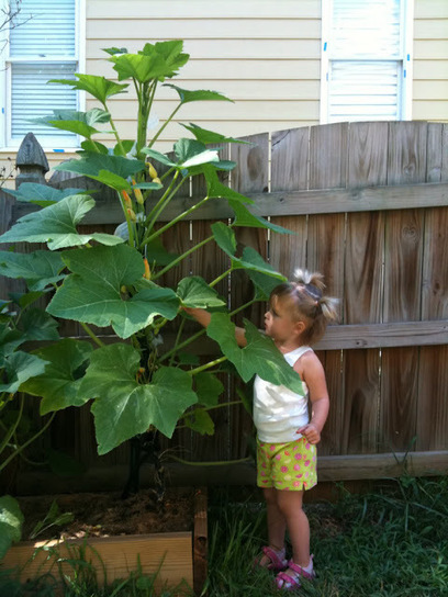 Growing squash and zucchini plants vertically | Backyard Gardening | Scoop.it