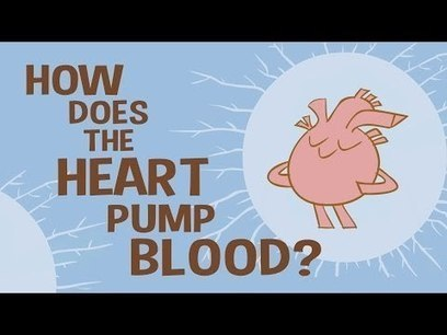 How the heart actually pumps blood - Edmond Hui | LibertyE Global Renaissance | Scoop.it
