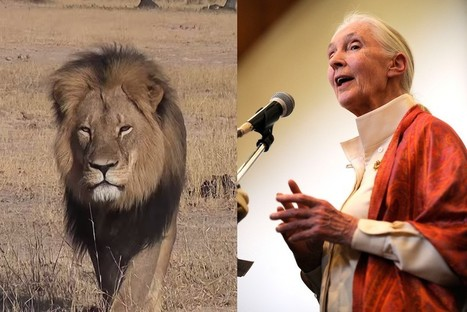 What Jane Goodall says we can learn from the death of Cecil the Lion | BDCWire | Trophy Hunting: It's Impact on Wildlife and People | Scoop.it