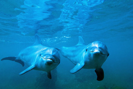 Bottlenose Dolphin Adopts a Baby Orphan of a Different Species | All about water, the oceans, environmental issues | Scoop.it