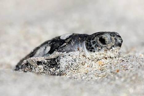 Higher sea levels are bad for endangered turtles | MishMash | Scoop.it