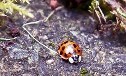 The harlequin ladybird is a clever little devil | World Environment Nature News | Scoop.it