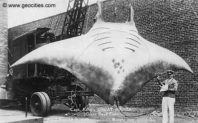 La médecine chinoise tue (2) : Manta Rays and the Chinese Medicine Trade: An Interview with Guy Stevens, Part I | Rays' world - Le monde des raies | Scoop.it