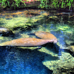 Biodiversity: Mixed messages on manatee threats | GMOs & FOOD, WATER & SOIL MATTERS | Scoop.it