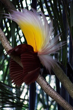Capturing the Courtship Rituals of Bizarre Birds-of-Paradise : 80beats | Research from the NC Agricultural Research Service | Scoop.it