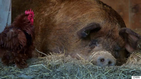 This Is What Happens When You Give A Pig Her Own Pet   GMOs & FOOD, WATER & SOIL MATTERS   Scoop.it