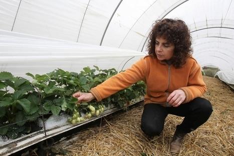 Inquiétude chez les producteurs de fraises périgourdins | Agriculture en Dordogne | Scoop.it