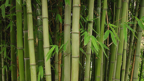 Why you should not plant bamboo in your yard | Pasture raised, Grass fed Pigs | Scoop.it