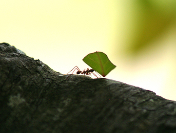 Are Fungus-Farming Ants the Key to Better Biofuel? | Sustainable imagination | Scoop.it