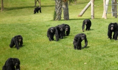 Chimpanzee 'personhood' case sows confusion | animals and prosocial capacities | Scoop.it