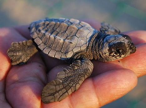 GREAT NEWS: Proposal Will Protect Loggerhead Sea Turtle Habitat in Coastal Waters Off Six States | All about water, the oceans, environmental issues | Scoop.it