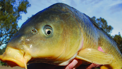 Carp virus push to get rogue fish out of Australian waters | Aquatic Viruses | Scoop.it