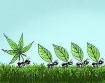 The Marijuana Report | Marijuana Legalization | Scoop.it