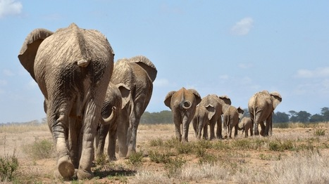 The Other Reason Africa's Elephants Are Dying | Upsetment | Scoop.it