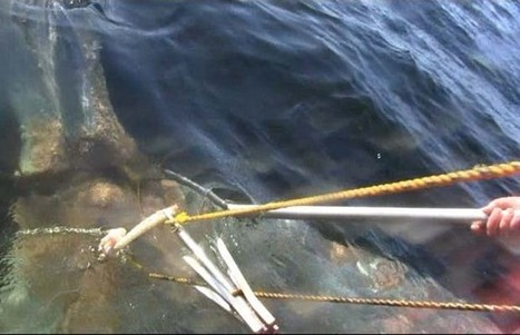 Grey whale off Vancouver Island expected to survive after fishing gear removed | dentisland | Scoop.it