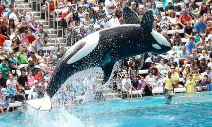 New California Bill Seeks to Ban Orcas in Captivity at Marine Parks | EcoWatch | EcoWatch | Scoop.it