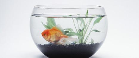 Sur internet, votre capacité d'attention est inférieure à celle d'un poisson rouge | Geek 2015 | Scoop.it