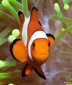 Clownfish help their anemones breathe - The Economist | Interesting Animal Behavior | Scoop.it