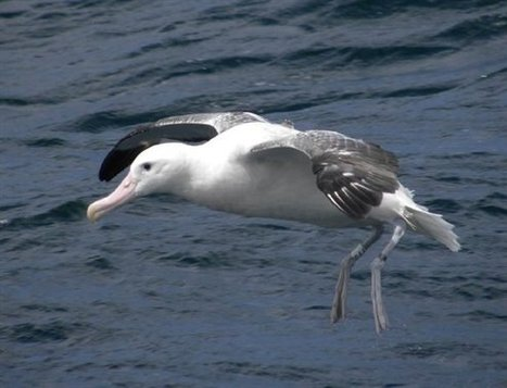 48 500 seabirds estimated killed by longliners in the Atlantic over four years: over half of them albatrosses   latest-news   All about water, the oceans, environmental issues   Scoop.it