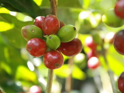 Alla scoperta del Caffè Verde 1/2   L'Energia delle Piante salute e benessere secondo natura   Scoop.it