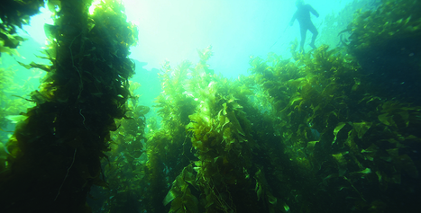 See Restoration in Action for California's Kelp Forests | All about water, the oceans, environmental issues | Scoop.it