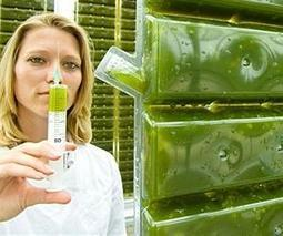 Toward a more economical process for making biodiesel fuel from algae | Sustain Our Earth | Scoop.it