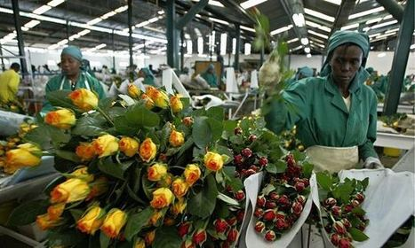 EU trade agreements threaten to crush Kenya's blooming flower trade | F585 The Global Economy | Scoop.it