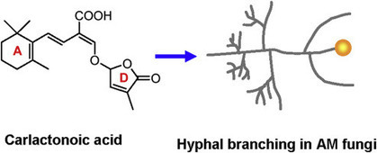 Carlactone-type strigolactones and their synthetic analogues as inducers of hyphal branching in arbuscular mycorrhizal fungi | Plant & Evolution | Plant-Mycorrhizal Fungi Interactions | Scoop.it