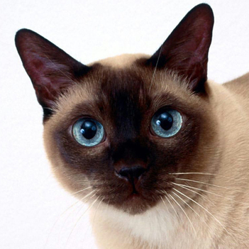 Tonkinese Cat | Cat Breeds Information | Scoop.it