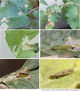 Tuta absoluta: found for the first time in India | Pest Alerts | Scoop.it