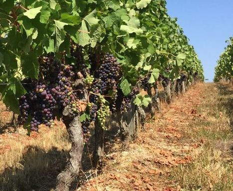 Bordeaux 2016's bone-dry summer | Articles | JancisRobinson.com | Wines of Bordeaux and south-west France | Scoop.it