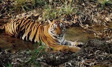 Go Wild » The tiger and the poo   Year 7 Science: Endangered Species – Tigers across Asia   Scoop.it