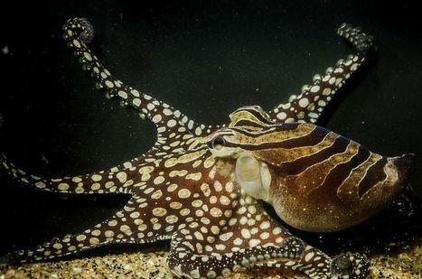 Social Octopus Species Shatters Beliefs About Ocean Dwellers   Global Aquaculture News & Events   Scoop.it