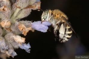 Un nouveau partenariat, pour les bourdons et abeilles sauvages | Nouvelles arthropodes | Scoop.it