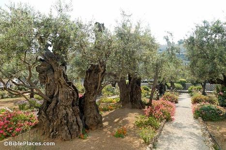 Olive trees of Gethsemane among oldest in world: study | Biblical Studies | Scoop.it