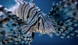 The Lionfish Invasion – How Did It Start? | Belize in Social Media | Scoop.it